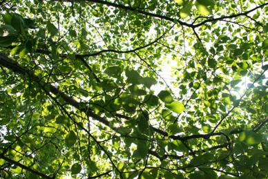 大きな桜の木陰